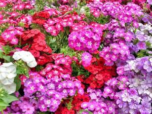 夏季花卉的养护管理