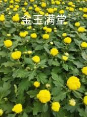 欧弟秋季菊花品种