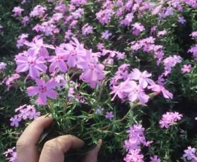 福禄考的播种、繁殖、扦插方式