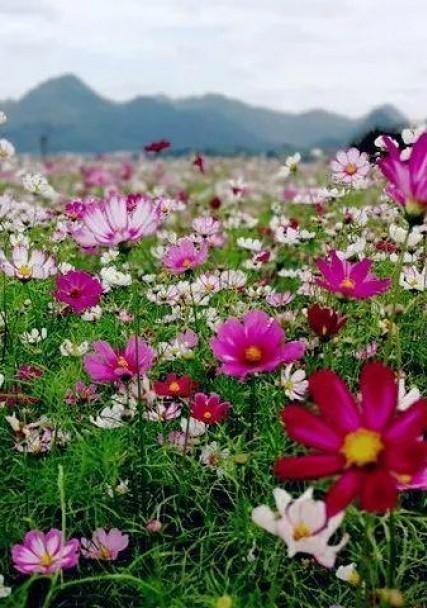 波斯菊花海景观
